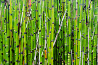 Green bamboo stems, Cheverny, Loir-et-Cher, France