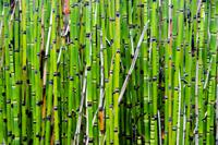 Green bamboo stems, Cheverny, Loir-et-Cher, France 11098054316| 写真素材・ストックフォト・画像・イラスト素材|アマナイメージズ