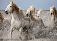 Small group of white horses galloping in lake