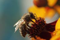 Close-up of european honey bee (apis mellifera) pollinating flower, Geneva, Switzerland