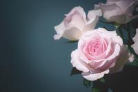 Pink rose 11098054786| 写真素材・ストックフォト・画像・イラスト素材|アマナイメージズ