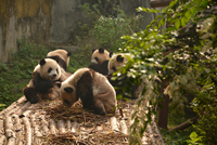 Group of pandas eating bamboo in Chengdu Panda Base, Sichuan, China