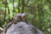 Western gray squirrel (Sciurus griseus) sitting on rock, California, USA