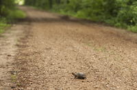 Little tortoise on gravel road