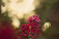 Close-up of red crepe myrtle (lagerstroemia)
