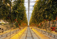 Inside of tomato greenhouse, Iceland