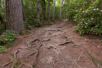 Roots in forest, Blue Ridge Parkway, North Carolina, USA