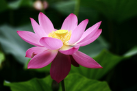 Pink Nelumbo/lotus flower