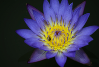 Blue and yellow water lily (Nymphaeaceae) in close-up
