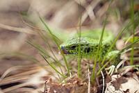 Close up of green lizard in grass