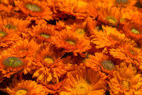 Full frame of orange gerbera flowers, San Francisco, California, USA