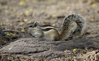 Chipmunk with long tail standing on ground