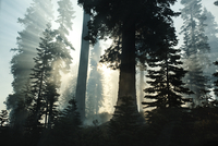 Sunbeams in forest at sunrise in Yosemite National Park, California, USA