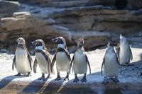 Small group of penguins (Spheniscidae) standing on rock, Seattle, Washington, USA