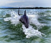 Dolphins swimming in Golfo Dulce, Costa Rica