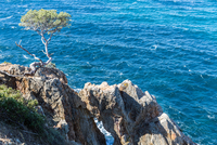 Maritime pine (Pinus pinaster) growing on rocks at Mediterranean Sea