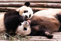 Two giant pandas (Ailuropoda melanoleuca) playing, Chengdu, Sichuan, China