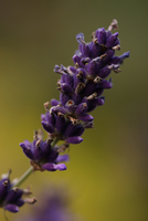Purple lavender (Lavandula) flower in close-up