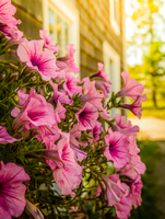 Bunch of petunia (Petunia Juss.) flowers at wooden building exterior