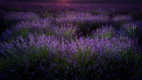 Violet lavender field, Valensole, Alpes de Haute Provence, France