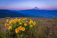 Landscape with sunflowers and remote Mount Hood, Oregon, USA