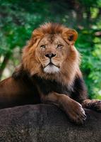 Portrait of Lion (Panthera leo)