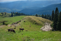 Cows and sheep grazing on hills, Sinaia, Romania