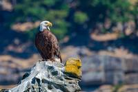 Bald eagle (Haliaeetus leucocephalus) perching on rock, Vancouver Island, British Columbia, Canada