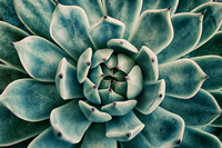 Succulent plant (Echeveria secunda) in close-up