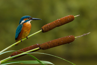 Common kingfisher (Alcedo atthis) perching on reed