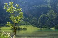 Tree against Koenigssee lake, Bavaria, Germany