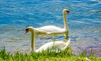 Two swans (Cygnus) swimming in lake