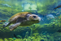 Sea turtle (Chelonioidea) swimming in water with fishes