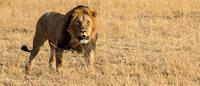 Lion in savanna in Maasai Mara National Reserve, Kenya