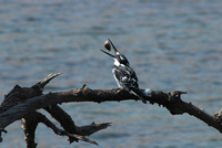 Pied kingfisher (Ceryle rudis) with prey, Pilanesberg, North West Province, South Africa
