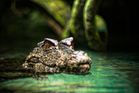 Crocodile emerging from water