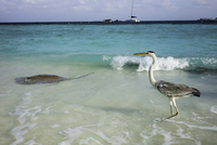 Stingray and pelican in ocean, Maldives
