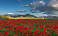 Red tulips field, Monti Sibillini National Park, Italy
