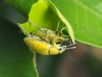 Yellow fluffy insects mating on leaf