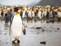 King penguin (Aptenodytes patagonicus) with colony in background, Antarctica