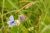 Female and male common blue butterflies (Polyommatus icarus) perching on clover