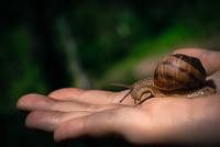 Snail crawling on human hand, Romania