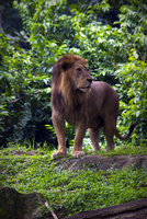 Lion standing on grass, Singapore