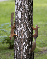 Two squirrels climbing on birch tree, Tomsk, Russia