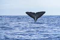 Fin of diving whale, Azores, Portugal