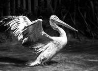 Portrait of pelican splashing water, Barcelona, Spain