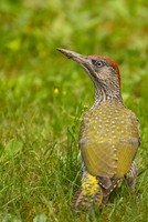 Young European green woodpecker (Picus viridis) standing on grass, Strasbourg, France