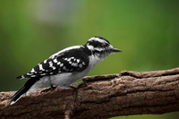 Female downy woodpecker (Picoides pubescens) perching on branch, Ontario, Canada