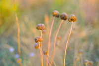 Plant growing in meadow at sunset