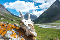 Skull of goat on rock with mountains in background, Tian Shan, Wensu County, China